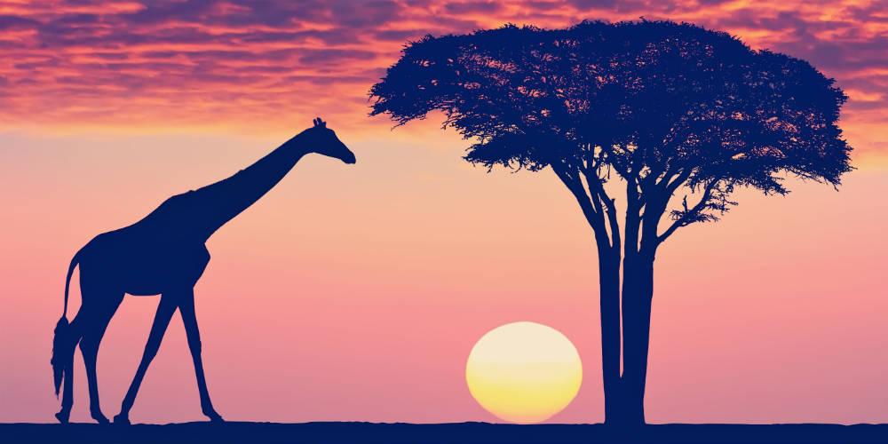 Giraf i Tanzania